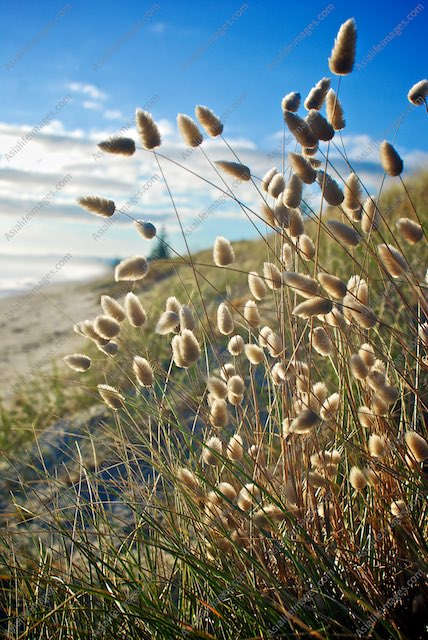 Fluffy beach flora called Harestail Grass