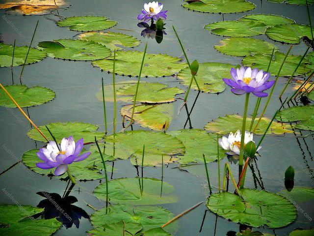 Flowering Lilies