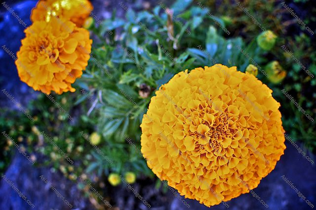 Golden yellow round flowers